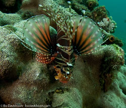 BD-090928-Lembeh-9284957-Dendrochirus-zebra-(Cuvier.-1829)-[Zebra-turkeyfish.-Zebradrakfisk].jpg